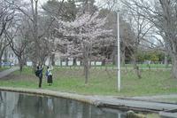 あちこちで桜が咲いてますでも寒いです - なよら風
