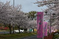 古河公方公園の桜 - Buono Buono!
