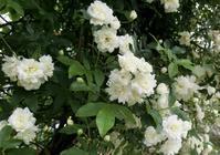 シキミの花 - hebdo時季(とき)の花