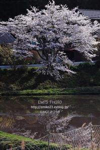 寄り道<椿・枝垂れ桜> - my FHOTO