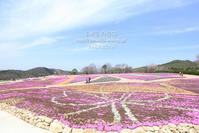芝桜 - my FHOTO