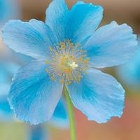 箱根湿生花園ヒマラヤの青いケシ - エーデルワイスPhoto