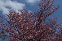 今日の旭山公園ほか/昨日(4/28)のクマゲラ・・① - 今日の鳥さんⅡ