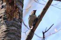 コゲラとニュウナイスズメ - 今日の鳥さんⅡ