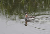 アカエリヒレアシシギ今シーズン初見初撮り - 私の鳥撮り散歩