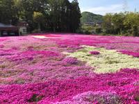 芝桜✿@ときがわ町 - ヒビノコト。