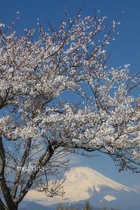 桜と菊と富士山*平成から令和へ。 - MIRU'S PHOTO