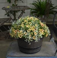 ペチュニア・ステファニーを大きく植える - ヒバリのつぶやき