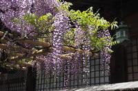 春日大社の藤 - Taro's Photo