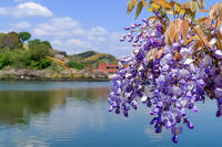 蓮華寺池の藤 - やきつべふぉと