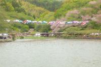 藤まつり ①- 蓮華寺池公園 - - やきつべふぉと