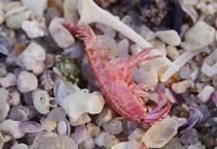 ヨコエビの仲間 - Beachcomber's Logbook