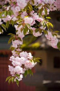 桜と石燈籠 - ノッツォのホデナス