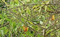 台北植物園のメジロ Japanese White-eye - 素人写人 雑草フォト爺のブログ