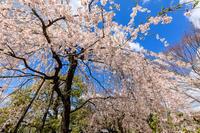 桜咲く京都2019上品蓮台寺のしだれ桜 - 花景色-K.W.C. PhotoBlog