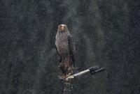 石垣島17:カンムリワシ - 赤いガーベラつれづれの記