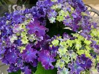 アジサイたくさん入荷しました^_^ - ブレスガーデン Breath Garden 大阪・泉南のお花屋さんです。バルーンもはじめました。