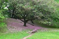 散りゆく八重桜、他 - ぶらり散歩 ~四季折々フォト日記~
