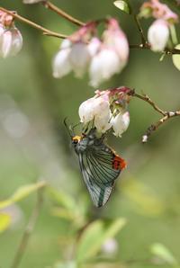ブルーベリーで吸蜜するセセリ - 蝶超天国