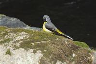 キセキレイの羽繕い - 近隣の野鳥を探して