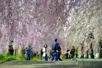 桜追 - 片眼を閉じて見る世界には・・・。
