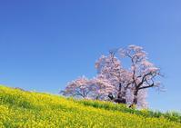 塩ノ崎大桜 - Patrappi