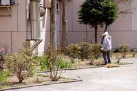 植栽ボランティアとサクラソウと「平らかに成る」の誤り - 照片画廊