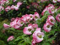 レッドロビンの花 - Magnolia Lane