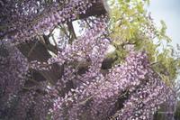 風に揺れる藤の花 - BobのCamera