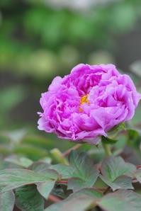 5/1モーヴ色の牡丹 - 「あなたに似た花。」