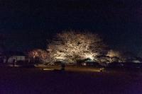 姫路城夜桜 - Plum Crazy of Going Out