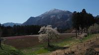 羊山公園の桜 - belakangan ini
