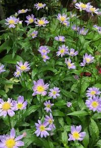 初夏のお庭のお花〜都忘れ - -