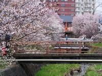 千島桜・カタクリほか今日の花見 - 今日の鳥さんⅡ