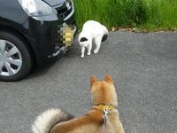 久し振りに「坊ちゃん」猫に出会う。 - ミモザアカシアの日々