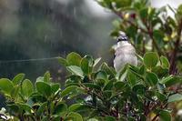 雨の中のリュウキュウサンショウクイ - 比企丘陵の自然