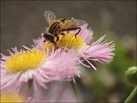 シマアシブトハナアブ(縞脚太花虻)ハルジオン(春紫苑) - 里山の四季