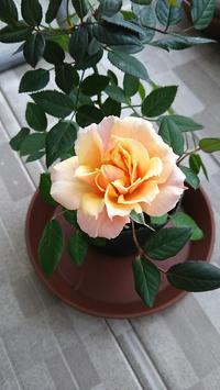 道の駅で買ったミニバラ - 箱庭の小さな薔薇の記録