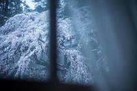 なごり雪の窓辺~あがたの森の枝垂桜~ - hello,everblue