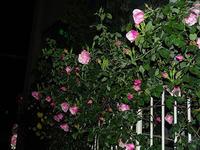 資生堂大阪工場薔薇が少し咲いてます。 - 写真で楽しんでます!