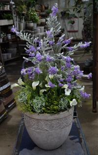 エレモフィラニベアと白いカラーの花で - ヒバリのつぶやき