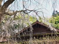 三椏の花咲く峡の家 - いつかみたソラ