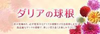 母の日ギフト2019第5弾!:令和元年新販売品種も続々登場!『ダリアの球根』 - FLCパートナーズストア