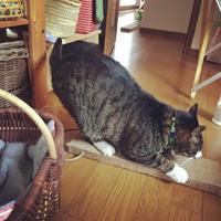 5歳のトムが肥大型心筋症に、、、(涙) - キジシロ猫のいる暮らし 〜トム〜