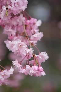 桜2題+one - へっぽこな・・