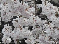 桜 - 小さなお庭のある家(パート2)
