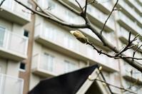 膨らむ木蓮と希少レチナの試写 - 照片画廊