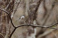 令和最初の野鳥は露出失敗したエナガ - 野鳥公園