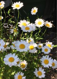 初夏のお庭のお花〜マーガレット - 素敵なモノみつけた~☆