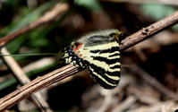 信州遠征その4 - 紀州里山の蝶たち